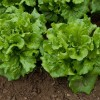 La manipulación del contenido en nutrientes en lechuga a través del nitrógeno de la fertilización